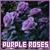 Fan of purple roses
